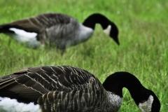 Geese Triplets