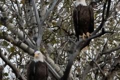 Bald Eagle Doubles