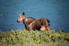 Mamma Moose and Calf