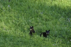 Black Bear Cubs at Yellowstone NP